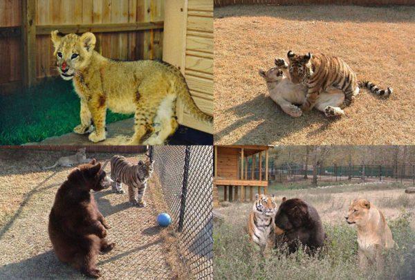 blt-bear-lion-tiger-noahs-ark-rescue-16