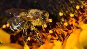 Arı türlerinde endişe veren düşüş